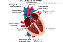 Heart: Anatomy and Physiology